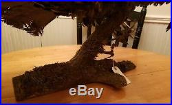 RARE Large Antique German AUERHAHN Bird Taxidermy Early Wall Mount vintage