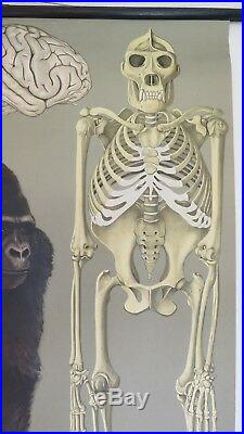 Vintage Jung Koch Quentell Roll Down German School Wall Chart Of Gorilla Ape
